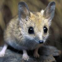 Сумчатые мыши