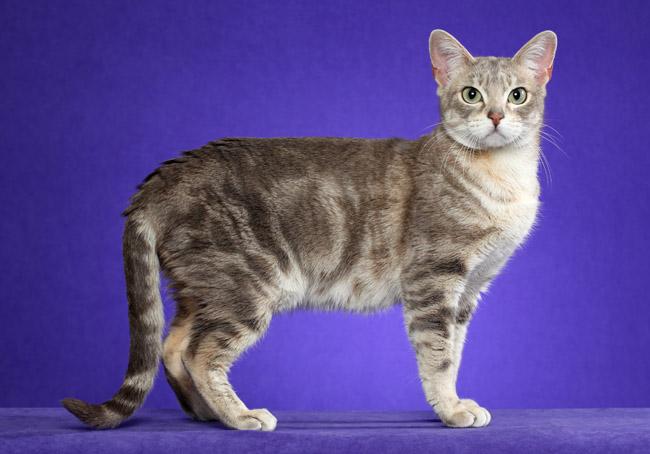 Австралийский мист австралийская кошка мист