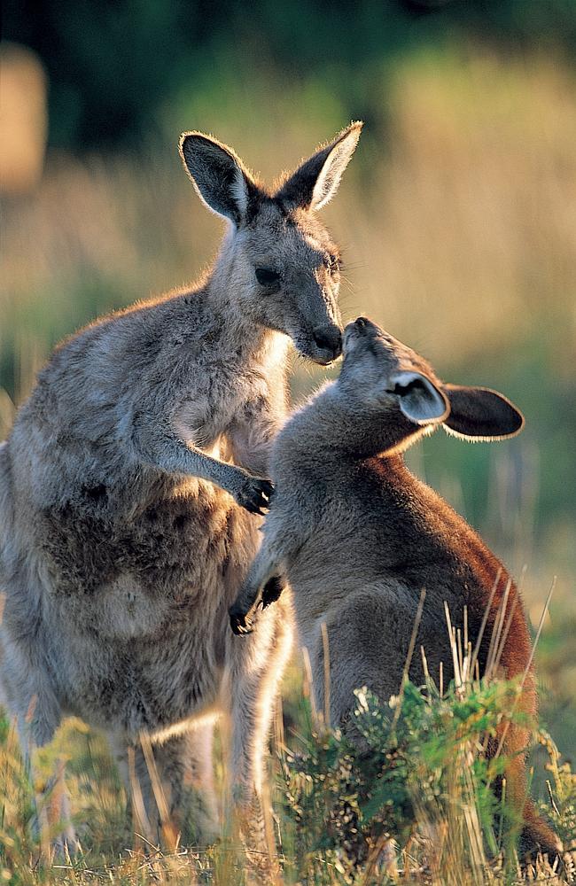 Серая восточная кенгуру.
