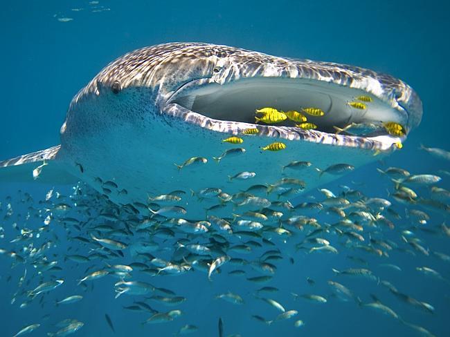 Нингалу Риф на Коралловом побережье Западной Австралии.