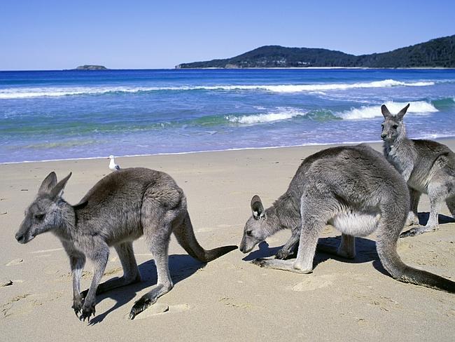 Кенгуру на фоне прибоя. Австралия.