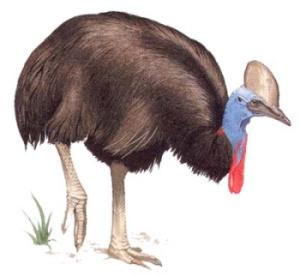 Австралии свое имя казуары получили