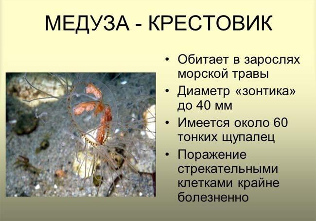 meduza-krestovik