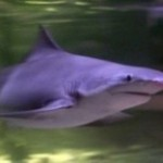 Обыкновенная серая акула