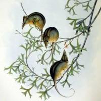 Хоботноголовый кускус или поссум-медоед