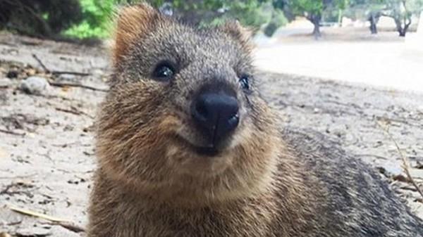 Квокка, или Короткохвостый кенгуру. Ареал распространения: острова и несколько изолированных континентальных участков в Западной Австралии.
