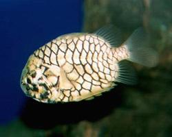 Австралийский шишечник, рыба-кольчуга или рыба-рыцарь