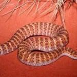В Сиднее участились случаи нападения змей на жителей и туристов